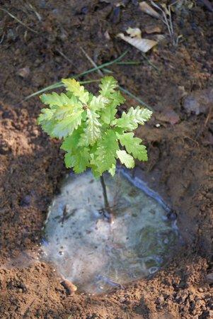 Baum des Jahres 2014 - Traubeneiche - Pflanzung Naturlernpfad Heiligengrabe - 15